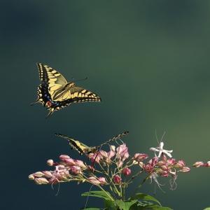 お山の蝶々 キアゲハとクロアゲハ