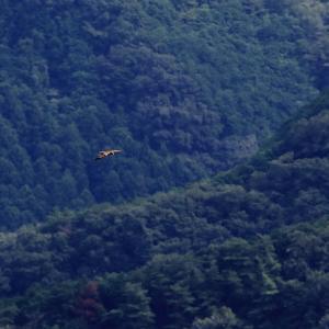 谷間を悠々と飛ぶ猛禽 トビ