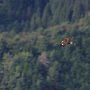 大空と森の王者 イヌワシの幼鳥