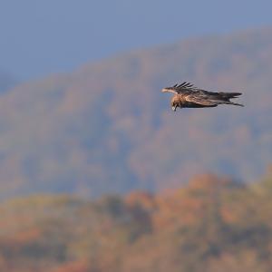 紅葉を見下ろしながら飛ぶ イヌワシ