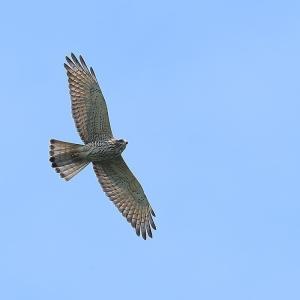 飛びながら一点を見つめるサシバの幼鳥