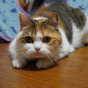 猫国代表女子バレーボール!
