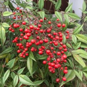 今年は南天が豊作!クリスマスもお正月もお花はこれだ!