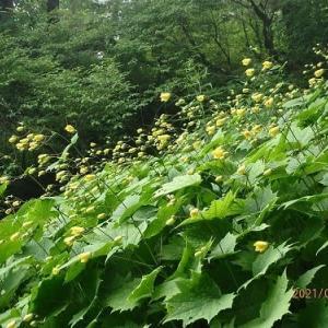 キレンゲショウマを8時間半の3山周回で見る@徳島県