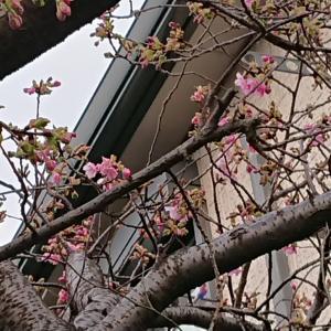 東京の河津桜(2020年)
