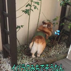 勘違いのバラ男(๑˃̵ᴗ˂̵)