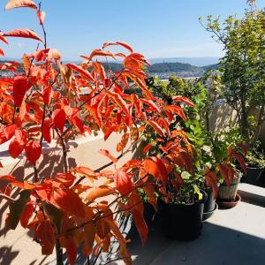 ベランダ庭で紅葉し実った!!富有柿の味&ピッタリな北欧の器2019