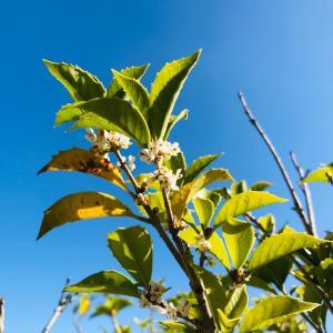 初冬のベランダ庭を彩る?!銀木犀の花&写真のキレイな撮り方