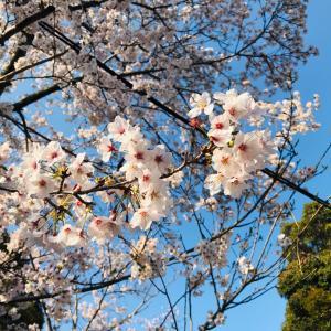 桜に癒される?!独りで愛でてお家カフェ#Stay home