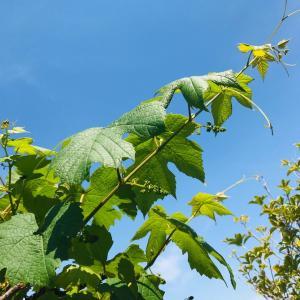 緊急事態宣言解除…ブルーベリーとラズベリーの果樹の花咲き