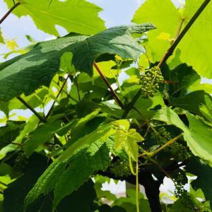 緊急事態宣言全面解除…葡萄の蕾とラズベリーの実成に野鳥の子育て