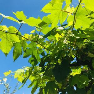 グリーンが綺麗な葡萄の花咲き&ブラックで美味しい葡萄の種なし
