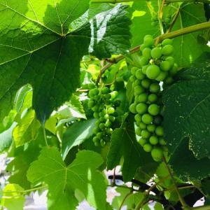 梅雨の愉しみ?!葡萄の実の生長と挿し木からの紫陽花 BEFORE&AFTER