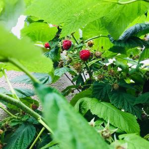 鳥や虫と共有する?!自然の恵みのラズベリー摘み&果実に合う北欧の器