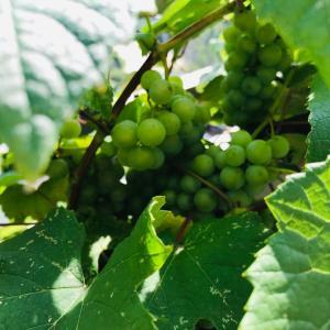 梅雨の長雨中から→豊作の葡萄を野鳥や害虫から守る簡単な対策とは?!2020