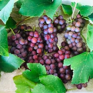驚きの鳥害対策の結果→色づき実った葡萄の収穫 BEFORE&AFTER 2020