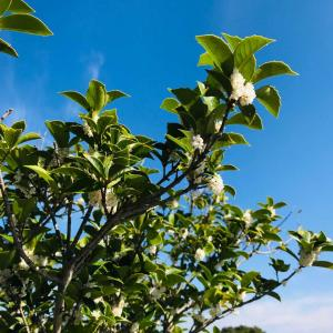 ギザギザがカッコいい?!ベランダ庭で秋空に優しく香る銀木犀の開花と株分け2020