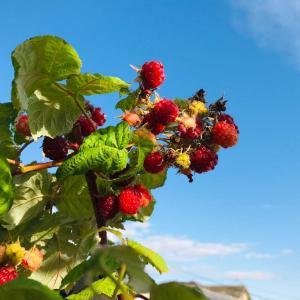冬を彩る⁈秋季ラズベリーの収穫と北欧の器&クランベリーの根づき2020