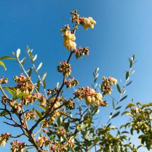 ベランダ庭に新緑の春が来た⁉︎ブルーベリーの花咲き&ガーデニングアイテム