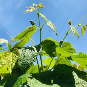 コロナ禍でも新緑豊かなベランダ庭で挿し木成功⁉︎の紫陽花の花芽&葡萄の蕾2021