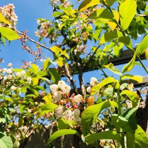 我慢の時?!ラズベリー&ブルーベリーの花咲きに蜂の姿を激写!!2021