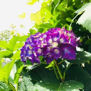 梅雨のベランダ庭…2年越しの挿し木成功!!満開の虹色紫陽花2021