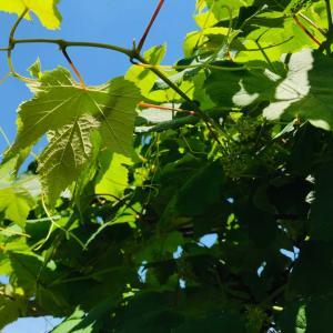 初夏のグリーン際立つベランダ庭!!葡萄の花咲から実成り&開運の言葉2021