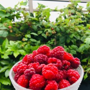 梅雨と初夏のベランダ庭…北欧の器で収穫する大豊作の春季ラズベリー2021