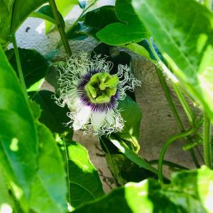 コロナ禍に咲く!!種から発芽した節電対策になる?!夏の果実&虫除け対策のヤツデ