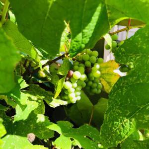 夏のベランダ庭の日除け…たわわに実る色づき葡萄の鳥害対策2021