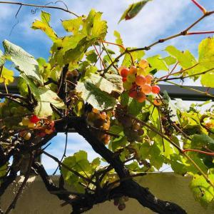 晩夏残暑のベランダ庭…熟した葡萄にスズメバチ襲来///&癒しのテラコッタ鉢2021