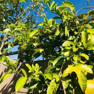 夏から秋のベランダ庭…初めて育てた沖縄野菜や果樹の生長2021