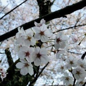 桜の季節に旅するような?!春キャベツの2種のサラダ