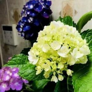 梅雨時季を彩る?!キッチンの紫陽花&ビニール・レジ袋のアイデア収納