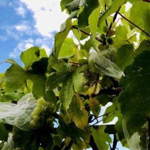 虫除け・鳥害対策が成功?!豊作年の葡萄の収穫2019