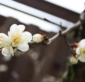 梅の花・・・咲いてた