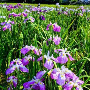 涼を求めて花菖蒲を観に行ってきまして