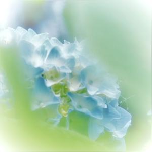 ブルーの元気な、紫陽花、坊や!