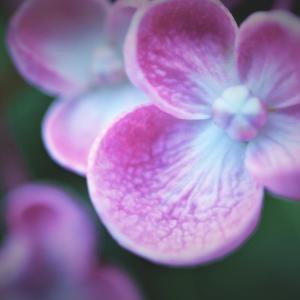 紫陽花・・ 模様