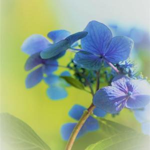 紫陽花:模様**