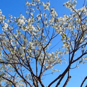 近所に咲く春の花⑤