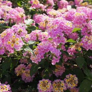 ランタナと紫陽花
