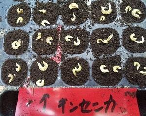 キンセンカ  播種