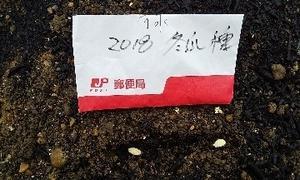冬瓜  播種