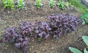 赤紫蘇 収穫
