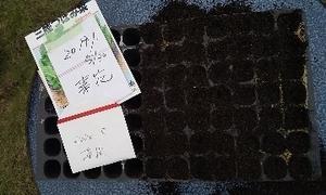 菜の花   播種