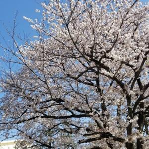 2020 桜メモ その4