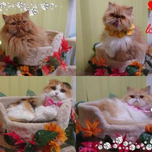 【猫誕生日動画】秋が好き!猫が好き!愛猫レナとルネのお誕生日お祝いはカリカリーナ!猫愛を語る猫川柳と猫友さんからの素敵な贈り物〓〓