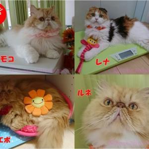 【猫動画あり】猫が大好きな人気のおやつ  CIAO  (チャオ)ちゅ~る♪原材料・成分・与える目安を解説&愛しき愛猫写真と共に詠む「楽しい猫川柳 」&ペルシャ猫&スコテイッシュ4ニャンズの日常秋のもふもふ便り♪