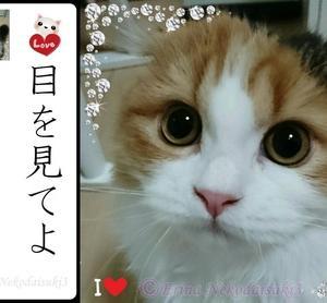 お猫「レナ様がいく!」【猫川柳】目ヂカラの強い猫 スコティッシュ・フォールドの愛猫シリーズ 第1弾!